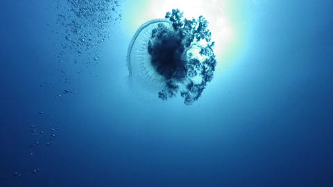 Jellyfish Stock Video Footage