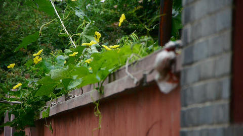 Wall flower,lush green plants on the brick wall Stock Video Footage