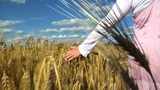 10710 Womans  Hand  Brushing  Over  Wheat  Field  Wide stock footage