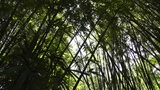 Bamboo Forest 01 lowangle Footage