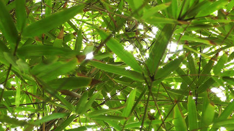 Bamboo Forest 03 lowangle Stock Video Footage