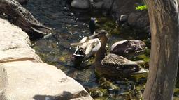San Diego Zoo 04 ducks handheld Stock Video Footage