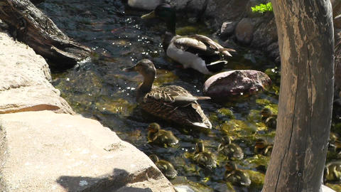 San Diego Zoo 04 ducks handheld Stock Video Footage
