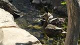 San Diego Zoo 04 ducks handheld Footage