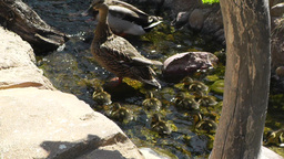 San Diego Zoo 04 ducks handheld Footage