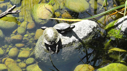 San Diego Zoo 06 tortoise handheld Stock Video Footage