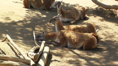 San Diego Zoo 08 guanaco handheld Stock Video Footage