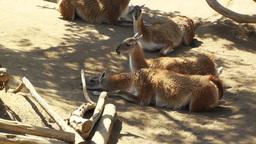 San Diego Zoo 08 guanaco handheld Footage