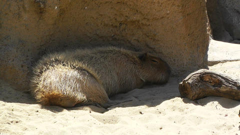 San Diego Zoo 12 capybara Stock Video Footage
