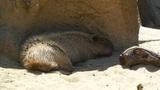 San Diego Zoo 12 capybara Footage