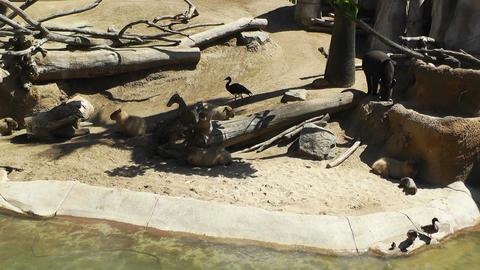 San Diego Zoo 14 capybara Stock Video Footage