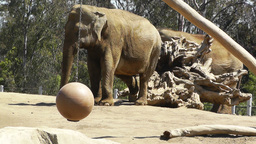 San Diego Zoo 18 elephant Stock Video Footage