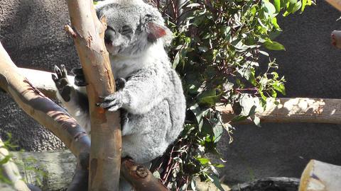 San Diego Zoo 20 koala handheld Stock Video Footage