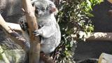 San Diego Zoo 20 koala handheld Footage