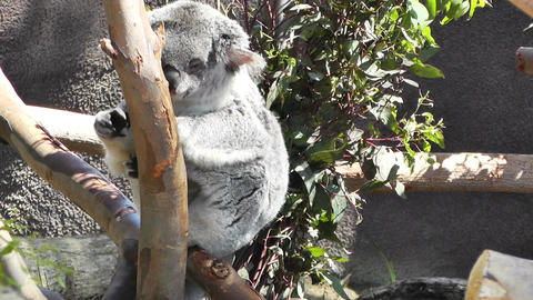 San Diego Zoo 20 koala handheld Stock Video Footage