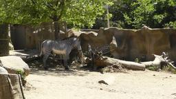 San Diego Zoo 23 zebra Stock Video Footage