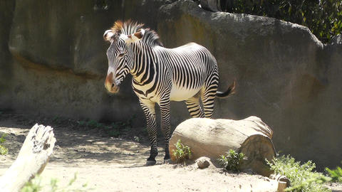San Diego Zoo 25 zebra Stock Video Footage
