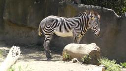 San Diego Zoo 25 zebra Footage
