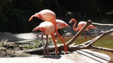 San Diego Zoo 27 flamingo Footage