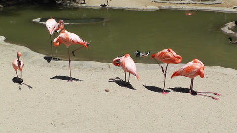 San Diego Zoo 31 flamingo Stock Video Footage