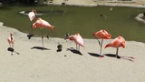 San Diego Zoo 31 flamingo Footage
