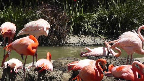 San Diego Zoo 35 flamingo Stock Video Footage