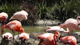 San Diego Zoo 35 flamingo Stock Video Footage