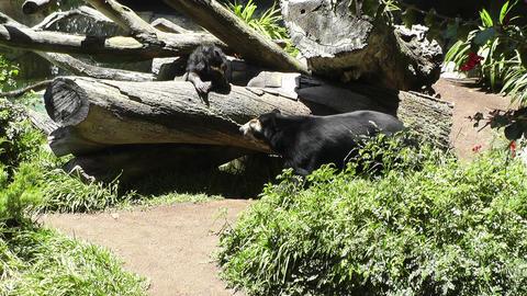 San Diego Zoo 39 sloth bear Stock Video Footage