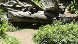 San Diego Zoo 39 sloth bear Footage