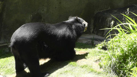 San Diego Zoo 41 sloth bear Stock Video Footage