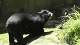 San Diego Zoo 41 sloth bear Footage