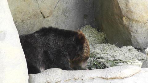 San Diego Zoo 43 brown bear Stock Video Footage