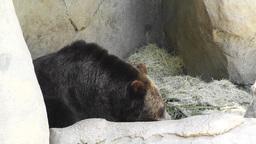 San Diego Zoo 43 brown bear Footage