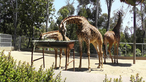 San Diego Zoo 47 giraffe Stock Video Footage