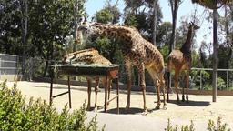 San Diego Zoo 47 giraffe Footage