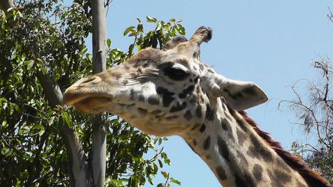 San Diego Zoo 49 giraffe Stock Video Footage