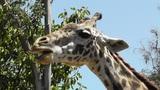 San Diego Zoo 49 giraffe Footage