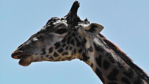 San Diego Zoo 51 giraffe Stock Video Footage