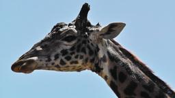 San Diego Zoo 51 giraffe Footage