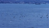 Many seagull flying in sea,Tourists feeding seagulls,Yachts ship & Vessels d Footage