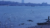 Many seagull flying in sea,reef,Seaside dams of QingDao city,a person standing o Footage