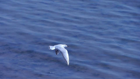 Capture a seagull flying into flock.Many seagull flying... Stock Video Footage