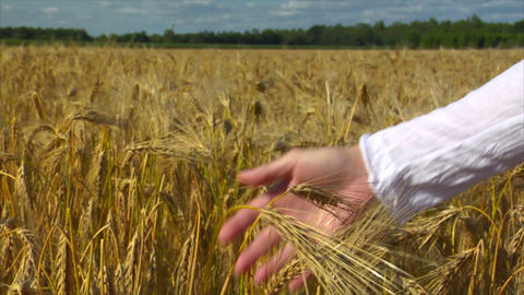 10712 woman hands control wheat Stock Video Footage