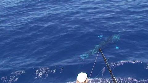 Sailfish jumping, sport fishing Stock Video Footage