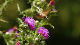 Humming Bird Hawk Moth pollinating wild purple flower Stock Video Footage