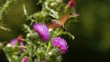 Humming Bird Hawk Moth pollinating wild purple flower Footage