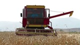 Combine harvesting ripe wheat Footage