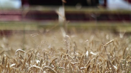 Wheat harvest detail Stock Video Footage