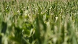 Cornfield swaying in the wind Footage