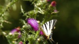 Butterfly landing on purple wild flower Footage